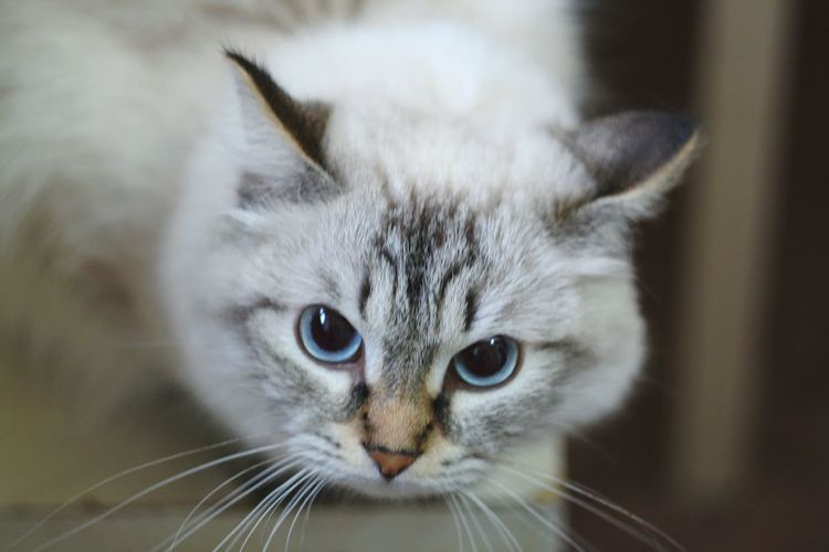 Cat Cat Lovers Animals Mimimi Blue Eyes Eyes Helios 44-2 58mm F2 Helios 44-2 44-2 Depth Of Field
