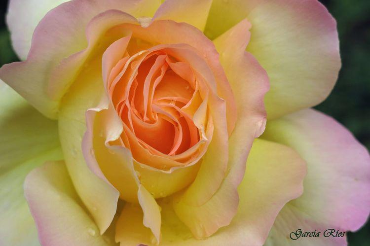 Flowers Flores Flor Flower Manu Manu García España🇪🇸 SPAIN Naturaleza Fascinante Naturaleza Nature Rose🌹 Rosas Rosa Springtime Spring Spring Flowers Primavera