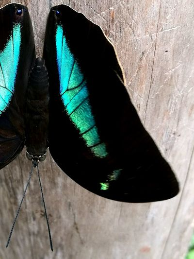 Costa Rica Baterfly, Nature Morfo Azul Mariposa Mariposa En La Naturaleza Fotography Blue Tree Outdoors