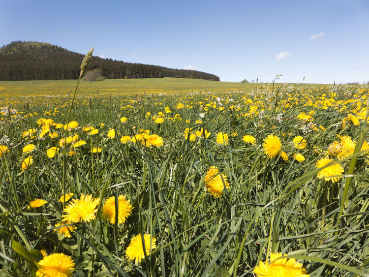 A hike in spring on the Albsteig on the Swabian Alb in southern Germany. A sea of flowers in yellow. The dandelion is blooming. Albsteig Balingen Grass Hiking Meadow Flowers Pasture Agriculture Dandelion Field Flower Flowerbed Flowering Plant Fragility Freshness Growth Hiking Trail Land Landscape Meadow Plant Rural Scene Schwäbische Alb Springtime Vulnerability  Yellow
