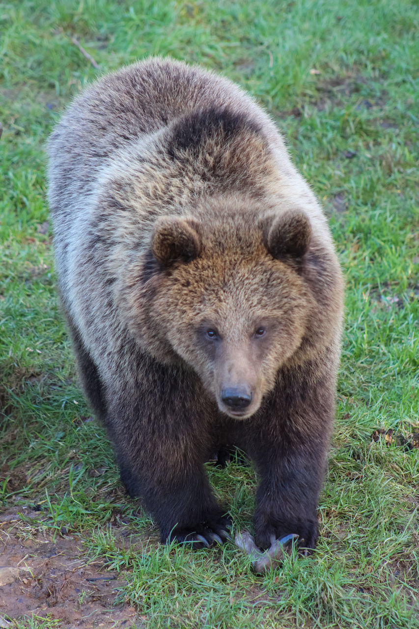 bear, grass, grizzly bear, animal wildlife, animals in the wild, one animal, animal, no people, nature, mammal, animal themes, outdoors, day, close-up