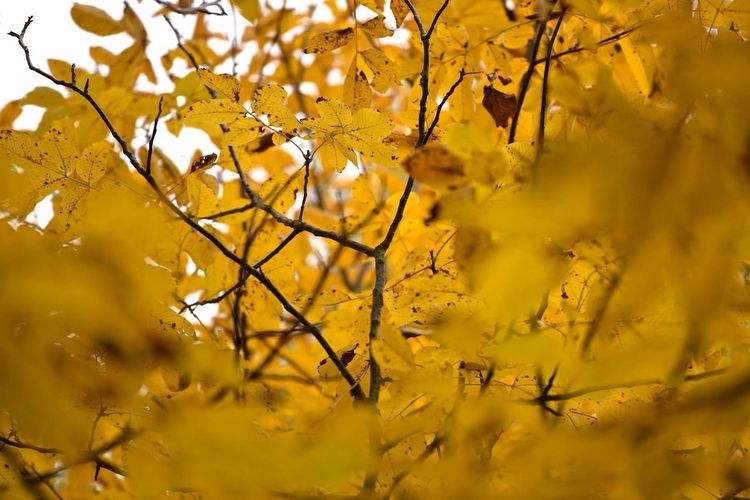 October 2016 || Nikkor 70-200mm Leaf Tree Beauty In Nature Yellow Autumn Outdoors Nikon Nikonphotography NikonD810 First Eyeem Photo