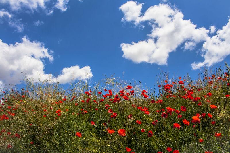 Amapolas Andalucía Nature Campiña Jaen Flowers Jaen Province Linares Olivares