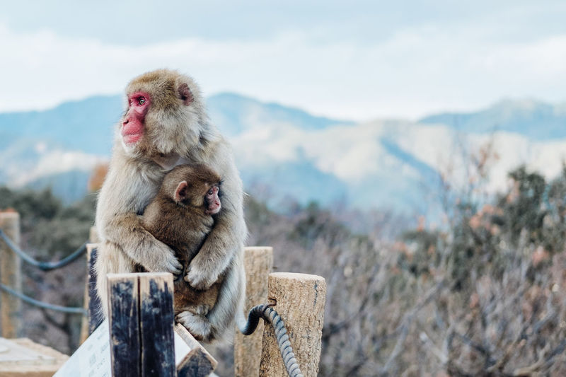 Monkeys Sitting On Wood