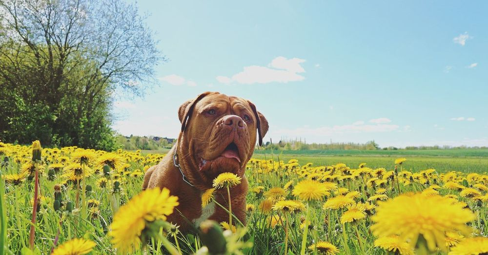 Close-up of dog amidst yellow flowers on field against sky