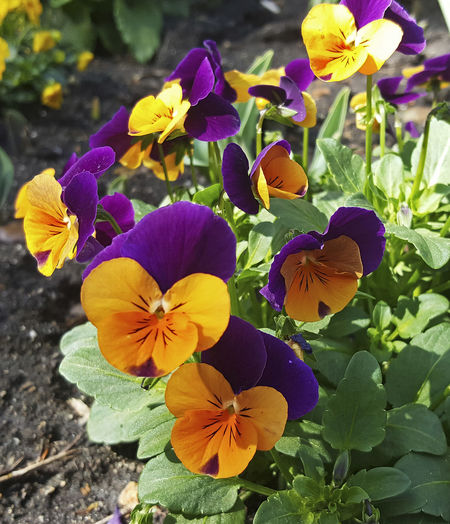 Blooming Close-up Delicate Petals Descanso Garden Flower Nature No People Petal Purple And Gold Flowers