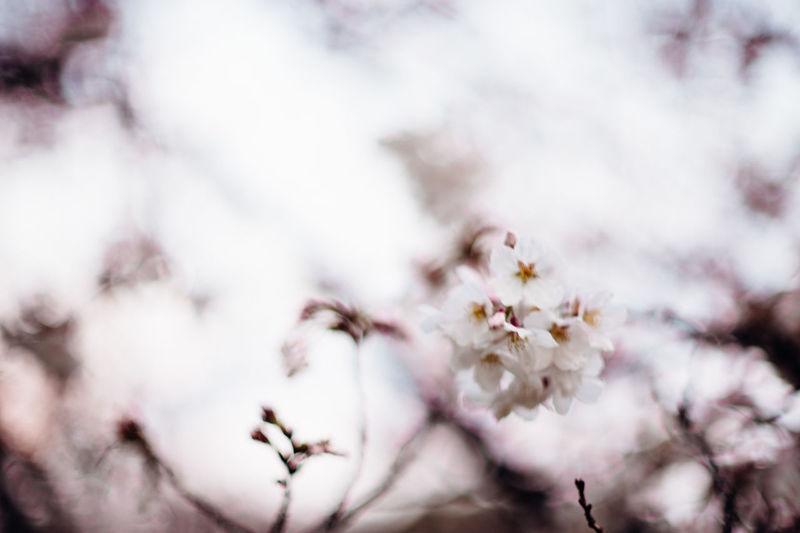 サクラ Japan Spring Flowers White Flowers Sakura Blossom Sakura2018 Cherry Tree Cherry Blossom Pollen In Bloom Twig Blossom Blooming