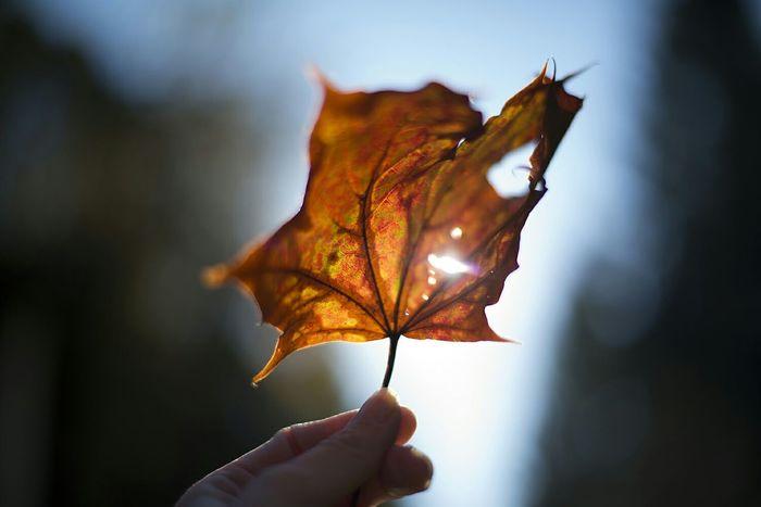 Yesterdays Autumnsun shining through a beautiful Leaf I found in the Sherwood Forest Sherwoodskogen Autumn Autumn Colors