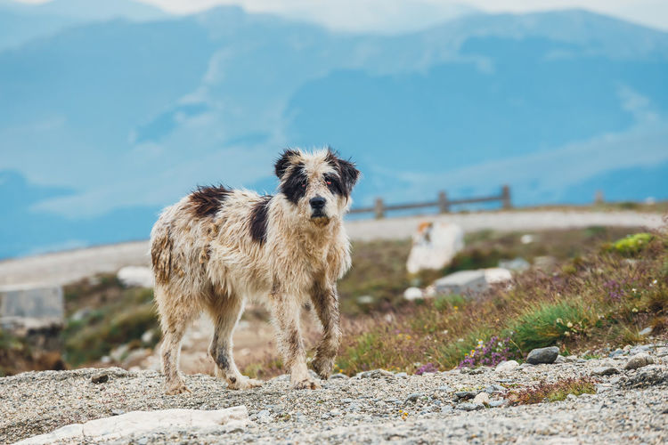 Portrait of dog standing on mountain