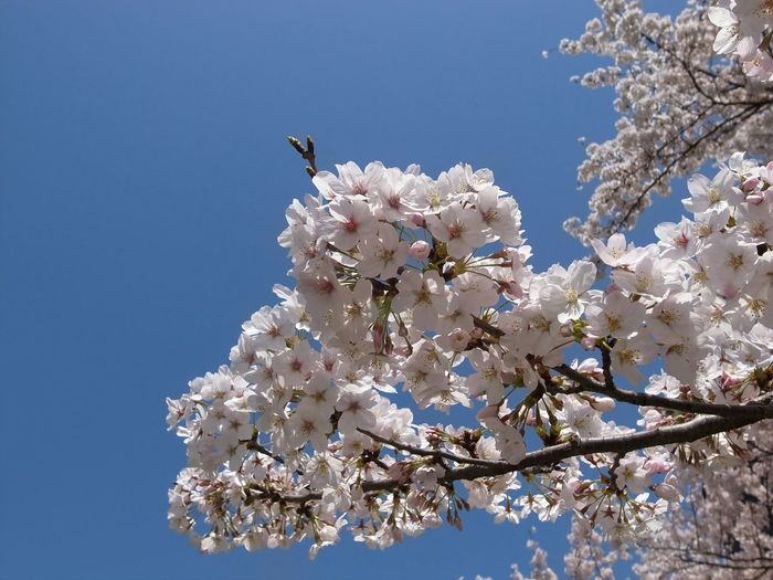 Low Angel View Of Cherry Blossoms Against Clear Blue Sky