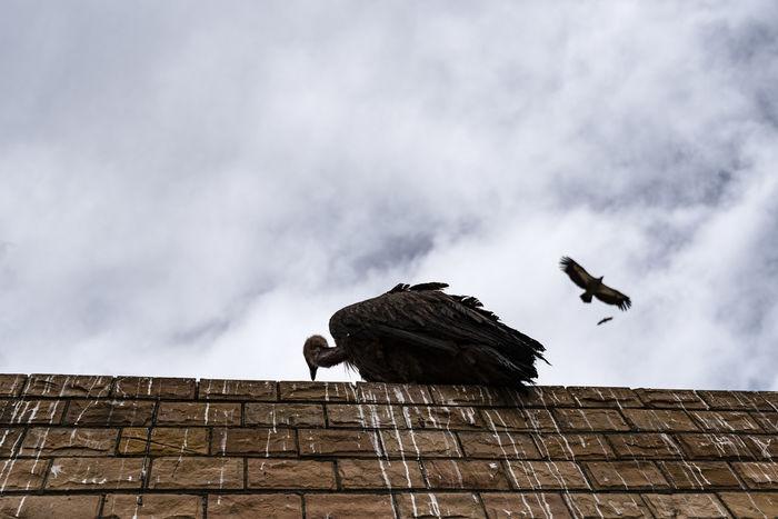 天葬 尸体 尼康D810 男仔很忙 秃鹫 秃鹰 色达五明佛学院 虎视眈眈 飞翔