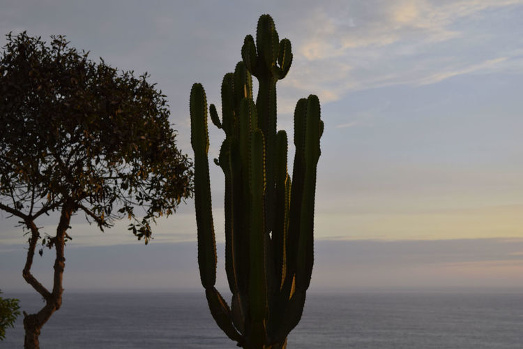 Close-Up Of Cactus Against Sky During Sunset