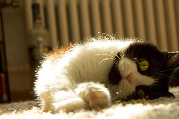 My Cutie Cats Of EyeEm EyeEmNewHere Persian Cat  Animal Animal Themes Cat Close-up Domestic Cat Kedi Lying Down No People Persian Mix Pets Portrait Whisker