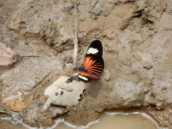 Habitat Amazon Animal Themes Animal Wildlife Animals In The Wild Biodiversity Butterfly High Angle View Insect Mud Muddy Puerto Maldonado