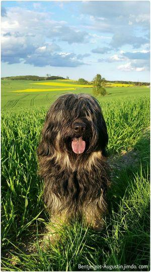 Bentjesgosaugustin Gos D'atura Dog Walking Eveningsun Landscape Nature Ilovemydog Mydog Dog Beauty #flower #spring #happiness