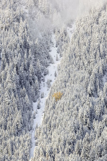 Aerial view of snow covered pine trees in forest