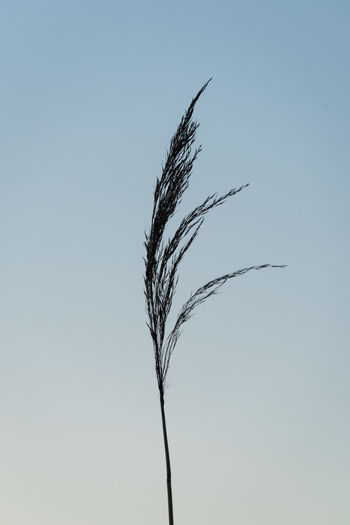 Marsh Grass Against the Evening Blue Sky Plant Sky Growth No People Nature Close-up Clear Sky Copy Space Beauty In Nature Grass Twilight Nobody Marsh
