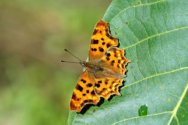 Polygonia c-album(comma) C -falter Comma Butterfly Comma Polygonia C-album Butterfly Insect One Animal Animal Themes Animal Wildlife Leaf Beauty In Nature Close-up No People Fragility