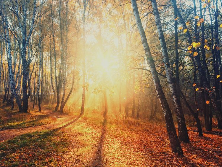 Tree Plant Forest Autumn Beauty In Nature Tranquility Sunlight WoodLand