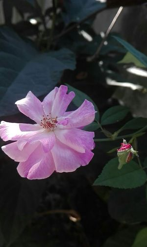 Flower Pink Color Petal Plant Nature Beauty In Nature Fragility