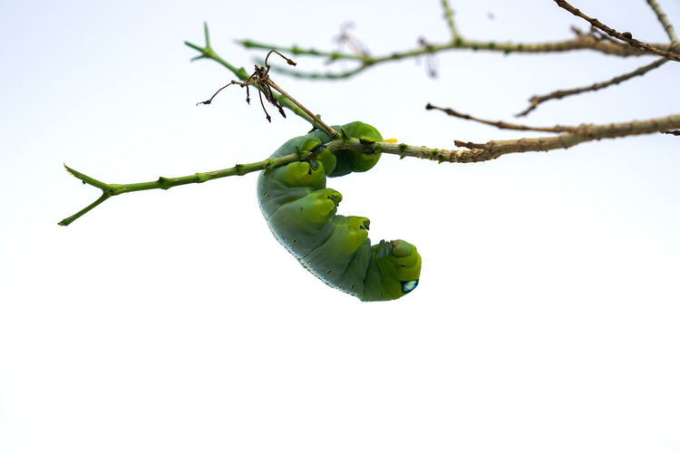 Green Color Close-up Sky No People Nature Day Insect Food And Drink Plant Food Invertebrate Healthy Eating Copy Space Branch Freshness Clear Sky Focus On Foreground Low Angle View Outdoors Fruit Caterpillar Caterpillars🐛🐛clinging Caterpillar Photography Butterfly