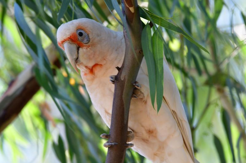 Corella EyeEm Selects Animal Vertebrate Animal Themes Animal Wildlife Animals In The Wild Bird Parrot Perching Day Outdoors Leaf Food Close-up Nature Branch No People Focus On Foreground One Animal Plant Tree