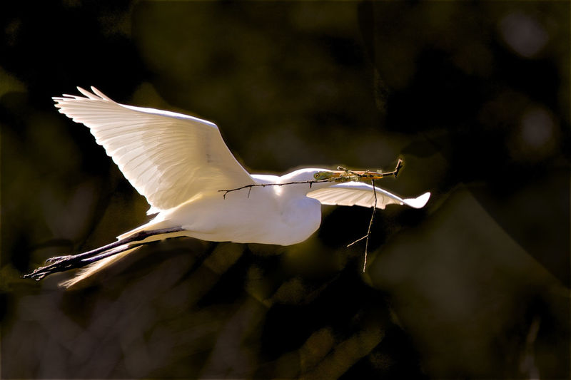 Animal Themes Animal Wildlife Animals In The Wild Bird Close-up Day Egret Flying Great Egret Nature No People One Animal Outdoors Spread Wings White Color