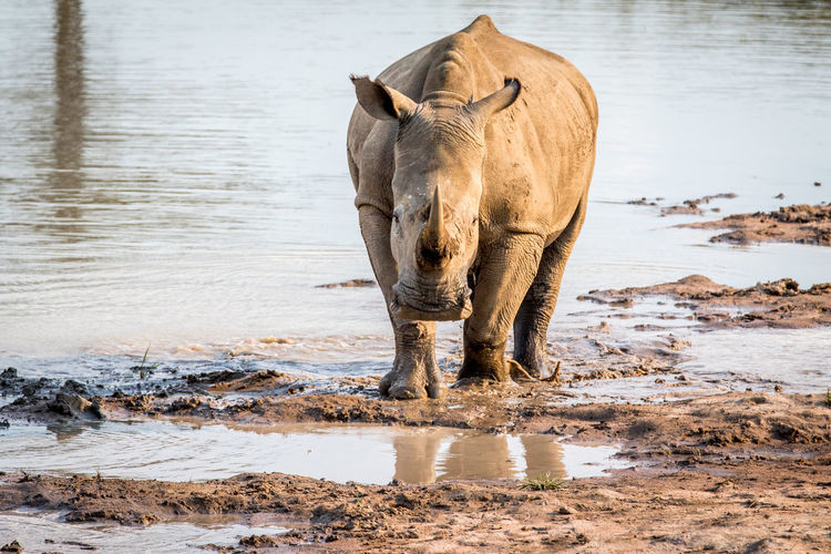 White rhino standing in the water and starring, South Africa. Nature Animal Animals In The Wild Wildlife Wildlife & Nature Nature Photography Africa African Safari Safari Animals Safari Beauty In Nature Travel Beautiful Nature Wildlife Photography Animals Animal Themes African Mammal White Rhino Rhinoceros Big Five Endangered Species Kruger Park Ceratotherium Simum Animal Wildlife
