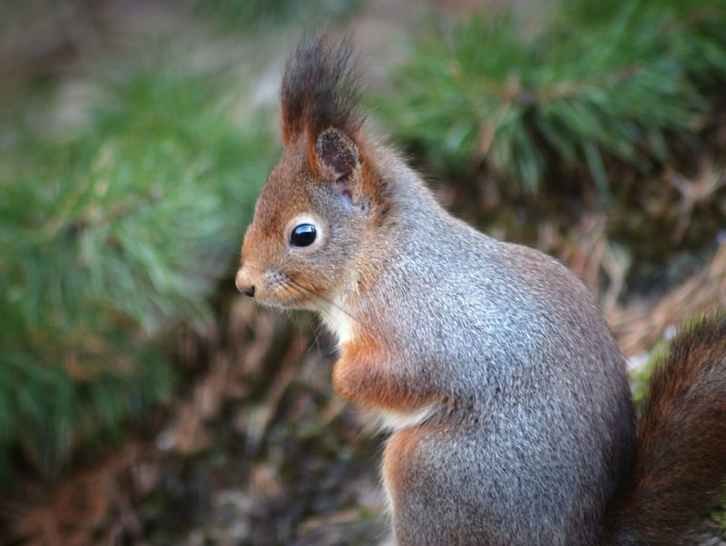 Sweden Björkvik 2017 Februari Niklas Showcase February 2017 Animals In The Wild One Animal Animal Themes Animal Wildlife Squirrel Nature Animal Mammal Outdoors Close-up Red Squirrel BYOPaper! The Week On EyeEm Perspectives On Nature