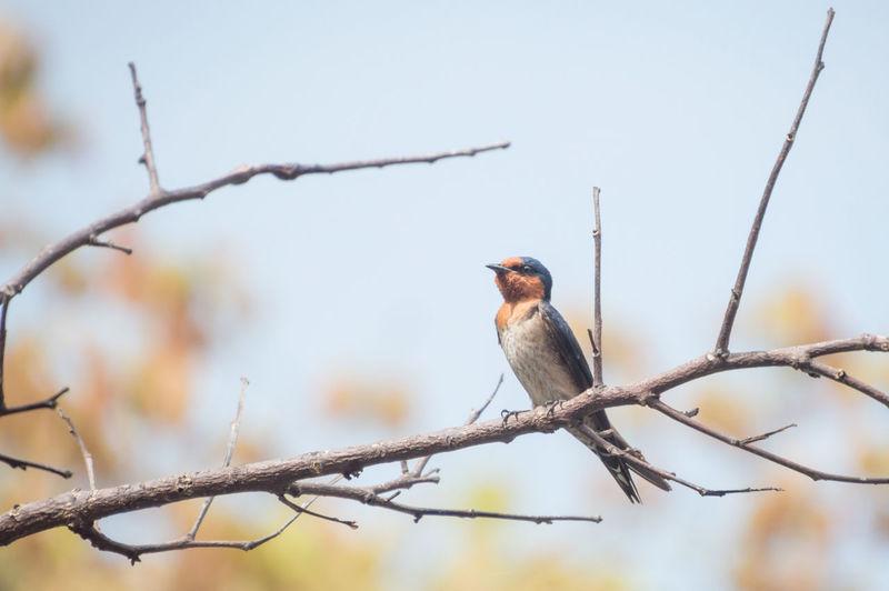 Alone swallow