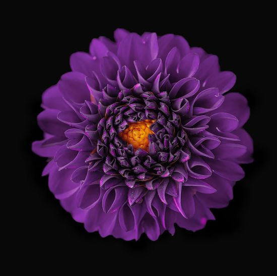 Close-up of purple dahlia flower against black background