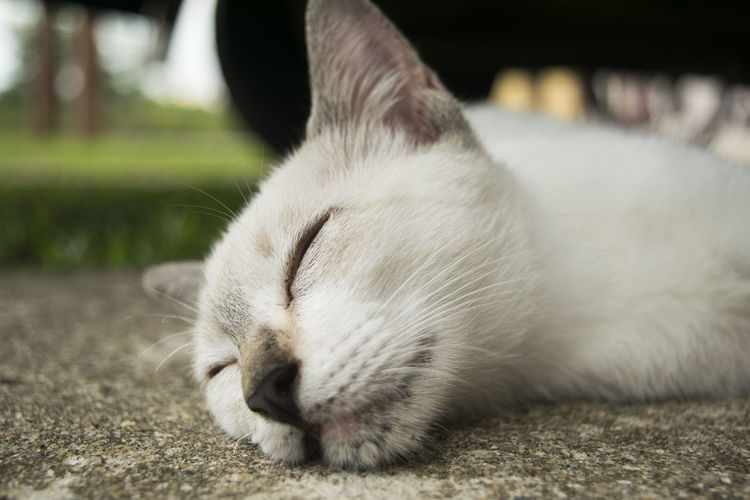 Close-Up Of White Cat Sleeping On Footpath