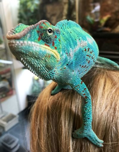 Close-up One Animal Focus On Foreground Animal Behavior Reptile Photography Person Green Color Part Of Selective Focus Chameleon Green Zoology Multi Colored Blue No People Maximum Closeness Chance Encounters Alternative Perch Head Perch No Branches Available Rethink Things