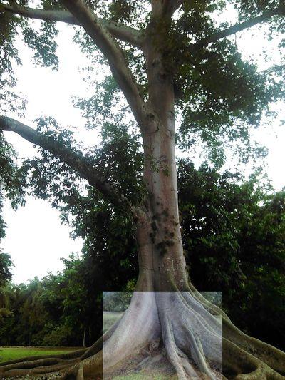 a log and a tree Tree Nature Borikén Puertoricotourism