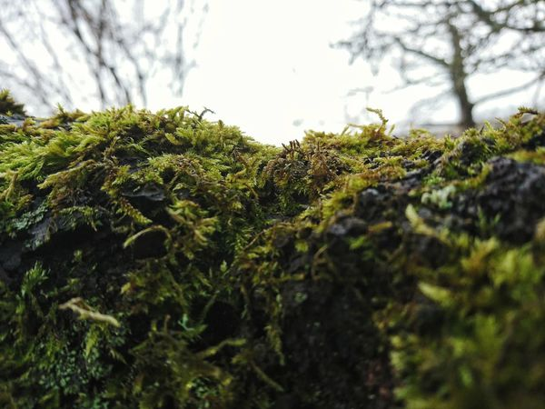 Nature Growth Green Color Tree Beauty In Nature No People Outdoors Leaf Plant Day Close-up Low Angle View Moss Mossporn