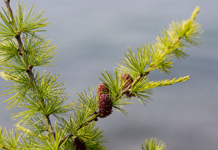 Larch and cone. Beautiful natural background, macro Beauty In Nature Branch Close-up Cone Coniferous Tree Day Ecology Fir Focus On Foreground Freshness Green Color Growth Macro Nature Needle No People Outdoors Pine Tree Plant Sky Tree