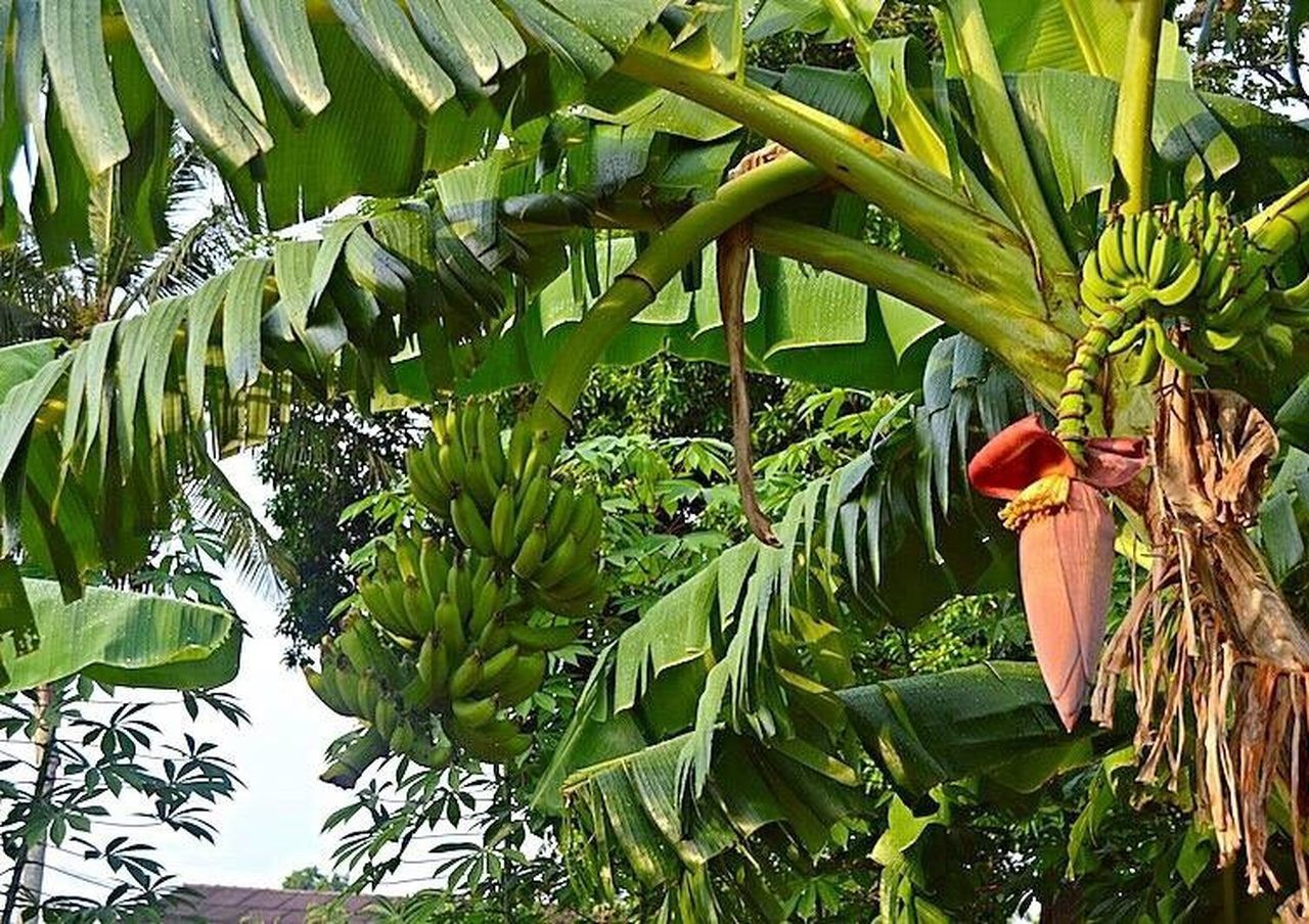 growth, banana, vegetable, banana tree, food and drink, food, healthy eating, green color, leaf, agriculture, freshness, fruit, nature, day, no people, outdoors, tree