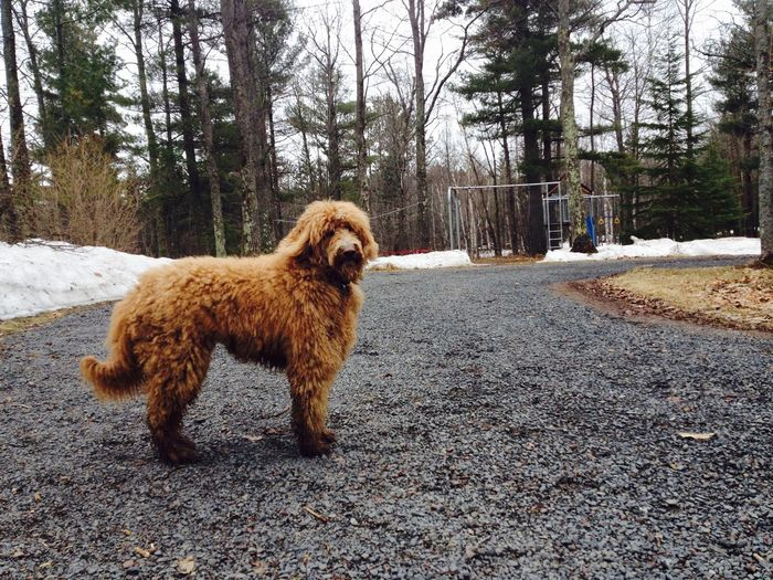 Portrait of goldendoodle dog standing on road during winter