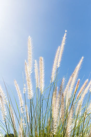 Cogon Grass on blue sky background Plant Growth Sky Blue Nature Grass No People Day Tranquility Beauty In Nature Clear Sky Land Summer Environment Crop  Cereal Plant Low Angle View Close-up Green Color Outdoors Timothy Grass Cogon Grass