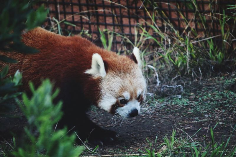Red panda on field