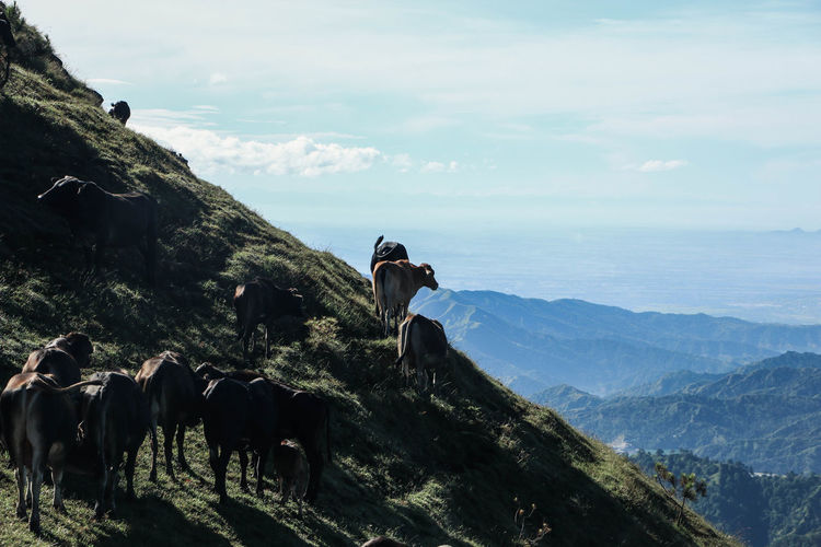 Cows walking on mountain against sky