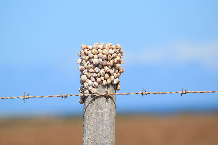 Low angle view of animal shells barbed wire against clear blue sky