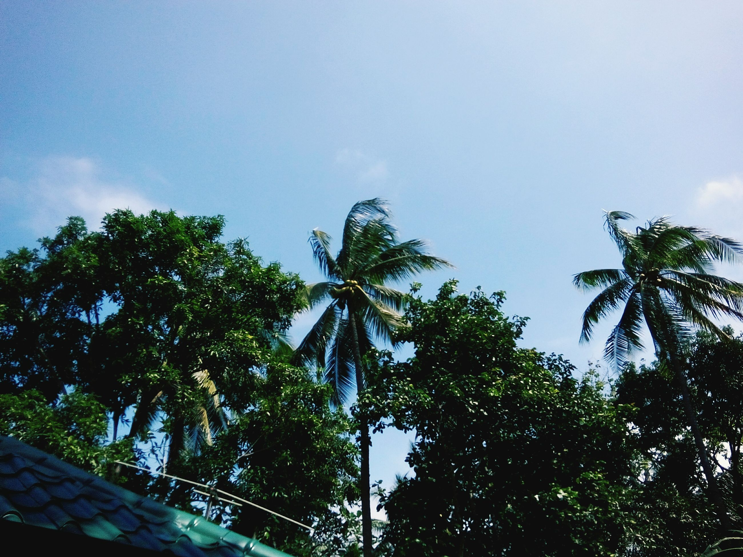 tree, low angle view, palm tree, sky, growth, nature, tranquility, beauty in nature, green color, branch, blue, scenics, day, tree trunk, clear sky, outdoors, tranquil scene, no people, sunlight, tall - high