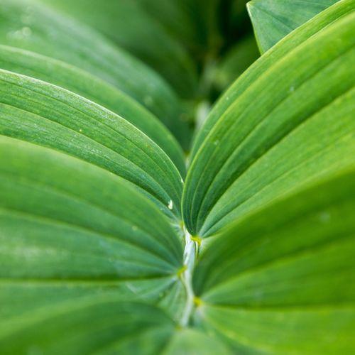 Full frame of polygonatum plant