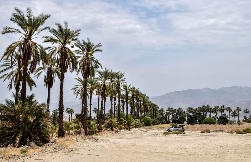 Date Palm Trees Planted In Row By Sand And Car