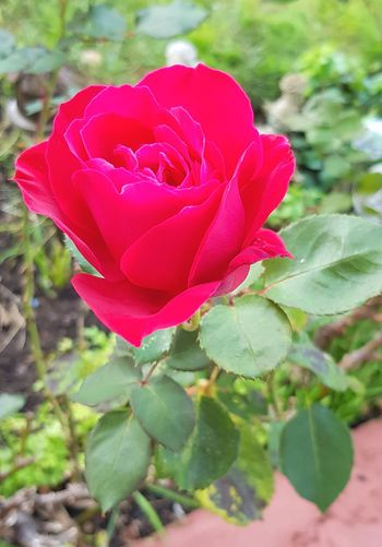 Red Rose Walking Around Garden Flowers Flowers Collection  Flower Head Flower Pink Color Petal Red Rose - Flower Springtime Love Close-up In Bloom