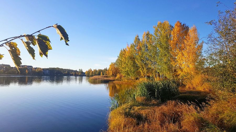 Plants by lake against clear blue sky during autumn
