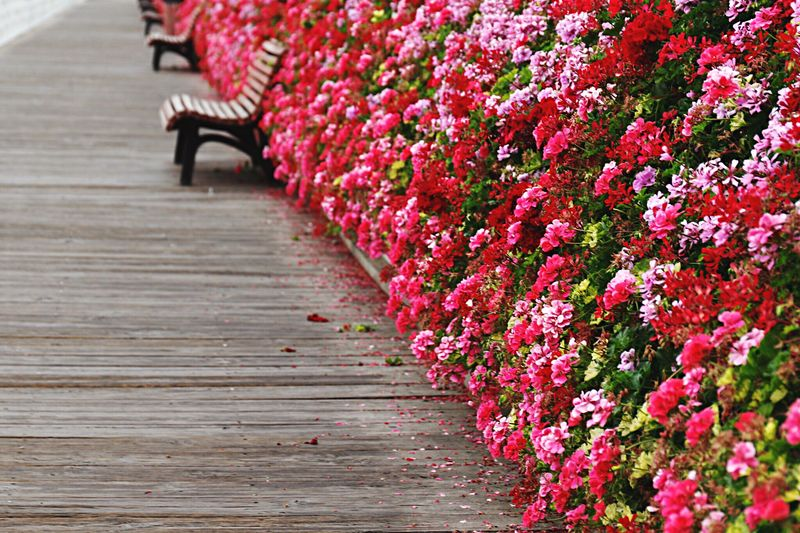 Bench On Boardwalk By Flowering Plants