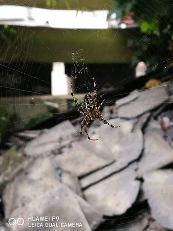 Spider, Spider Web One Animal Spider Animal Wildlife Outdoors Nature