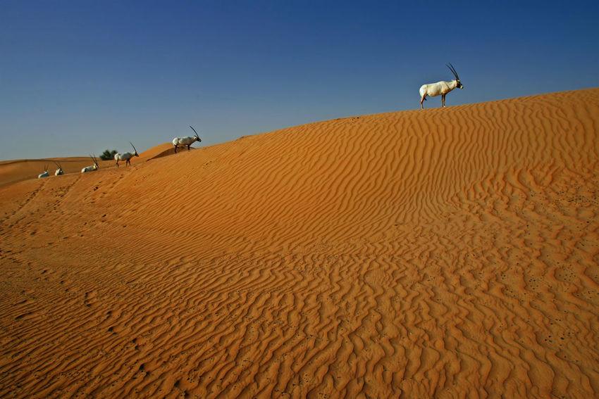 Desert animal's Arabian Oryx standing at golden sand-dunes in Dubai. Desert Dubai Golden Life Nature Standing Travel UAE Al Maha Resort Animal Animal Themes Animal Wildlife Animals In The Wild Arab Day Magic Moments Mammal Nature No People Oryx Oryx Gazella Outdoors Sand Sand Dune Wildlife